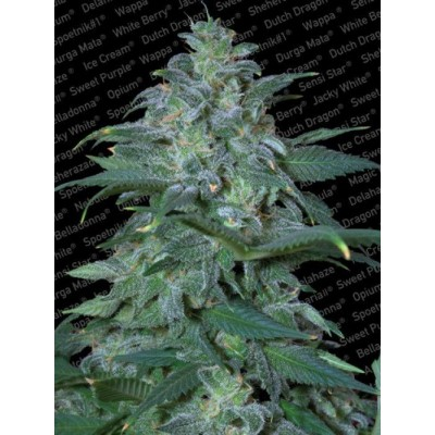 Magic Bud Fem 1