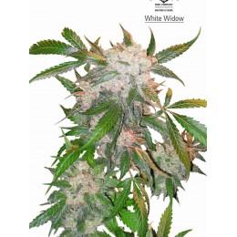 WhiteWidow Fem