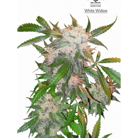 WhiteWidow Fem