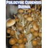 Psilocybe Cubensis Burma