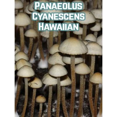 Panaeolus Cyanescens Hawaiian