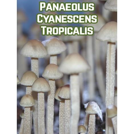 Panaeolus Cyanescens Tropicalis