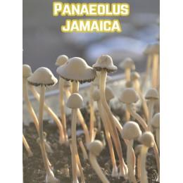 Panaeolus Jamaica