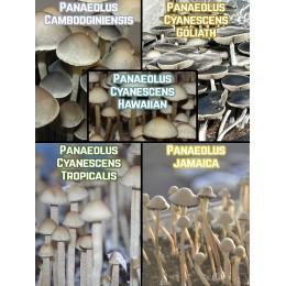 Микс-пак Panaeolus