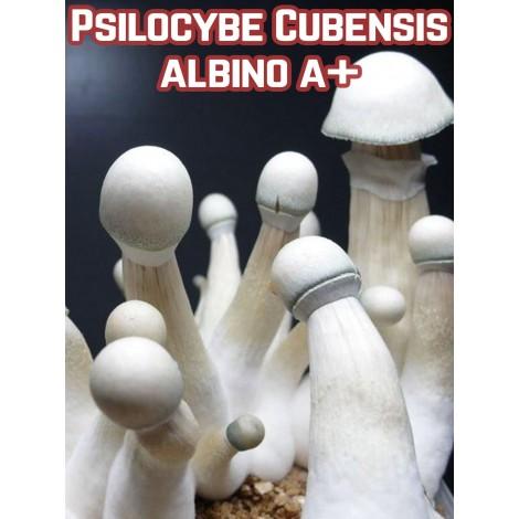 Psilocybe Cubensis Albino A+
