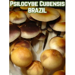 Psilocybe Cubensis Brazil