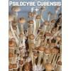 Psilocybe Cubensis F+