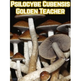 Psilocybe Cubensis Golden Teacher