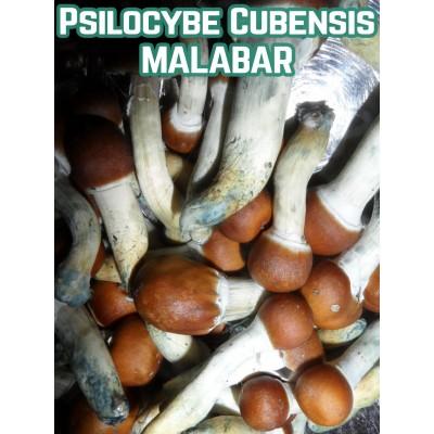 Psilocybe Cubensis Malabar