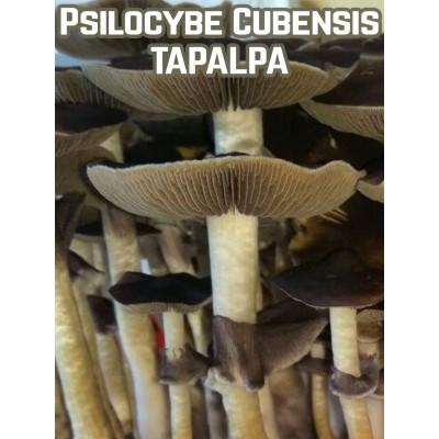 Psilocybe Cubensis Tapalpa