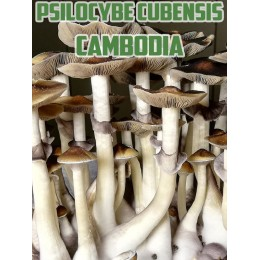 Psilocybe Cubensis Cambodian