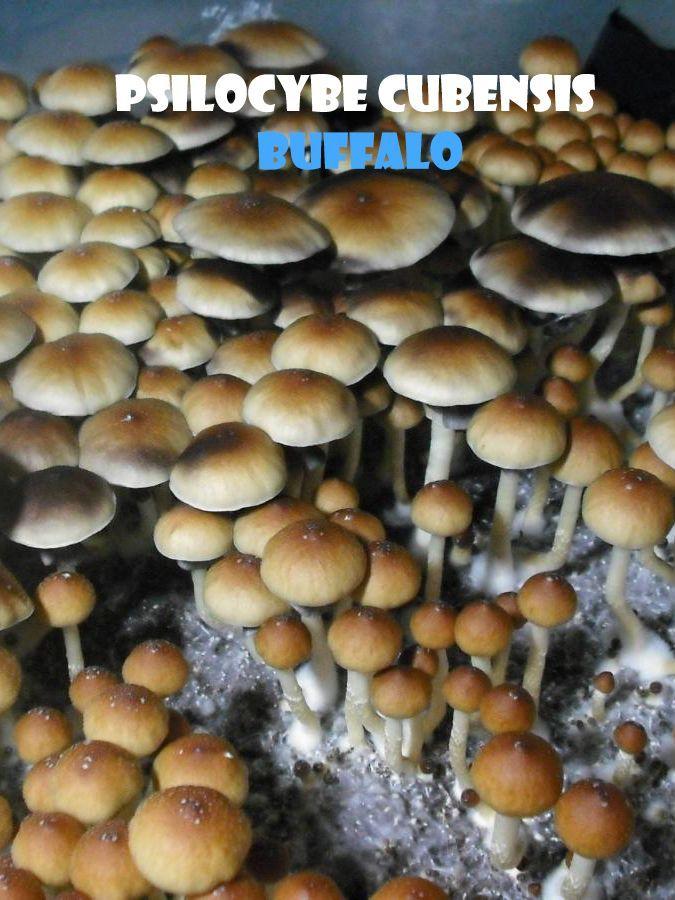 Купить споры грибов Psilocybe Cubensis Hybrid A+ Киев и Украина