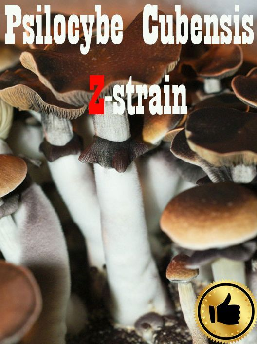 Купить споры грибов Psilocybe Cubensis McKennaii Киев и Украина
